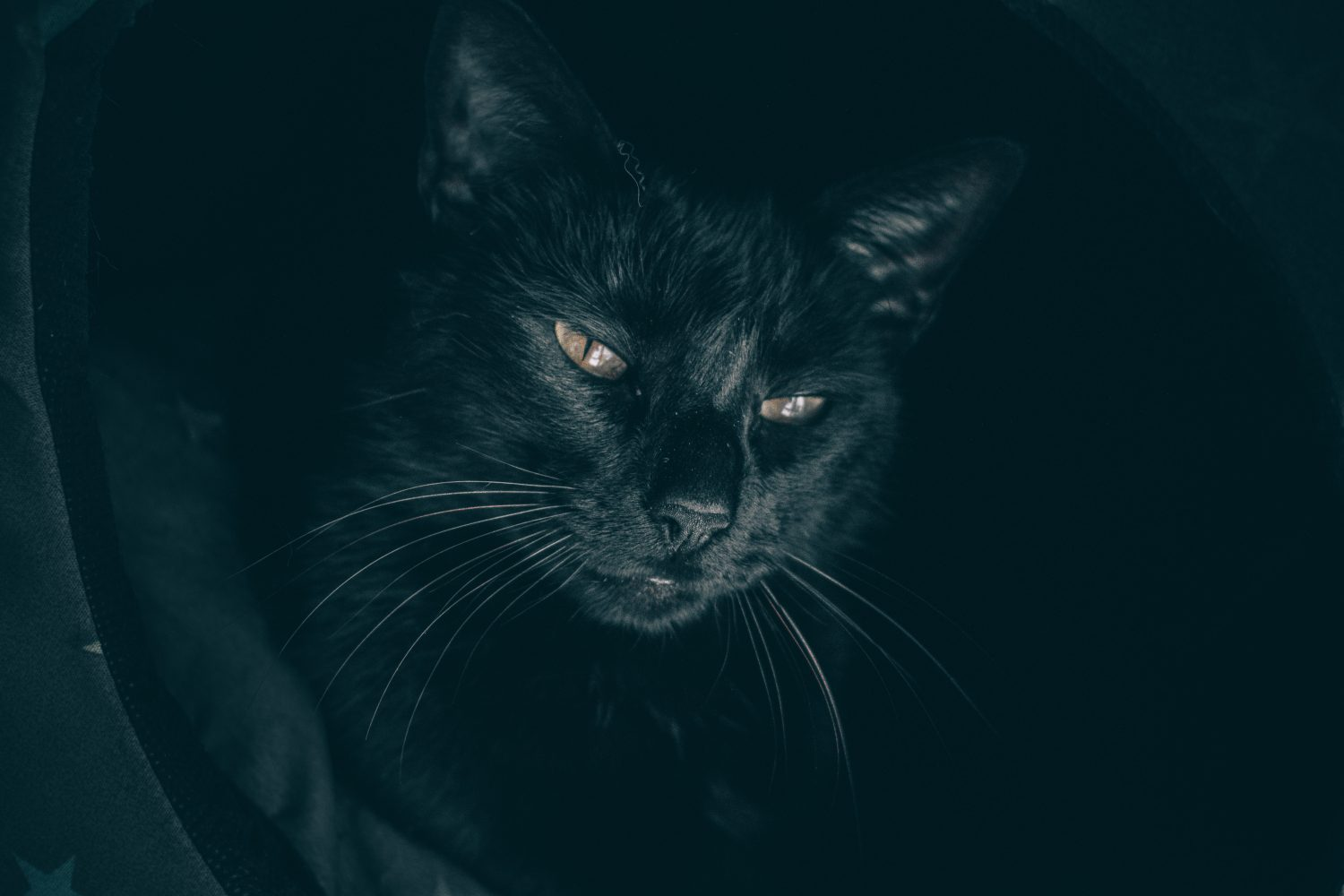 Brilliant Black Cats for Black Cat Awareness Month